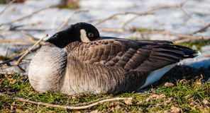 Single Canada goose warming its beak in feathers. Stock Image