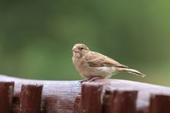 Single Cape sparrow Mozzie Mossie on Wooden Fence royalty free stock photo
