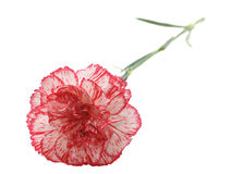 Single carnation Royalty Free Stock Photography