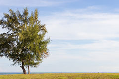 A single Casuarina. Tree stands on the edge of the Sea Stock Photography