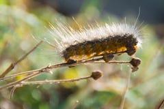 Caterpillar Catwalk. A single caterpillar taking in the sun as he balances on a branch stock image