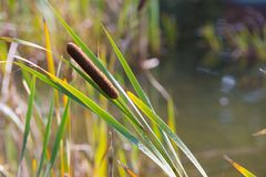 Cattail at pond Royalty Free Stock Image
