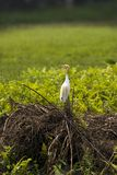 A Single Cattle Egret Bird standing in Grass and Bushes royalty free stock images