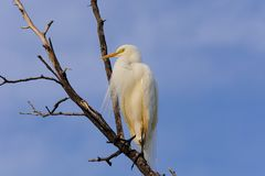 Single Cattle Egret Bubulcus ibis on dead tree royalty free stock photography
