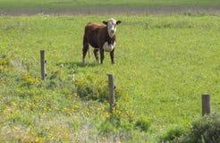 Single Cattle Grazing in the Field. A Single Cattle Grazing in the Field stock photo