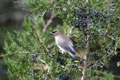 Single Cedar Waxwing Bird In Cedar Tree Stock Photo