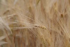 Single cereal plant against the plantation. Close up shot of a single cereal plant against the plantation stock images