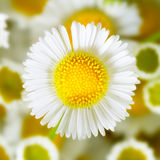 Single chamomile. Close-up single chamomile on the front Stock Photo