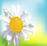 Single chamomile flower Stock Photo