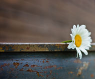 Single chamomile flower. On brown background Stock Image