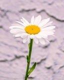 Single chamomile flower isolated, close up. SIngle chamomile flower isolated, newar the wall, close up Royalty Free Stock Photo
