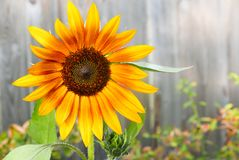 Single, cheery  sunflower  on fence. Single, cheery sunflower  on a gray fence with room for copy Stock Images