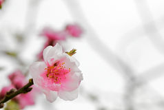 Single Cherry blossom royalty free stock photo