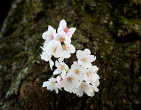 Single cherry blossom on branch Stock Photo