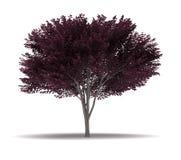 Single Cherry Blossom Plum Tree Stock Photos