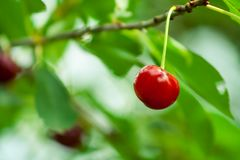 Single cherry hanging on a branch. royalty free stock photography