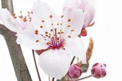 Single cherry plum bossom Stock Photo