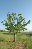 Single cherry tree in farm Royalty Free Stock Images