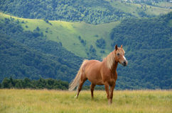 Single chestnut horse Royalty Free Stock Images