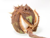 Single chestnut unfolding Royalty Free Stock Images