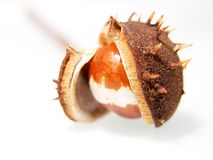 Single chestnut unfolding Royalty Free Stock Photography