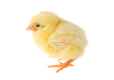 Single chick Stock Photo