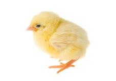 Single chick Stock Photo