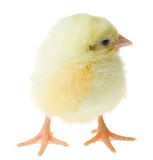 Single chick Royalty Free Stock Photography