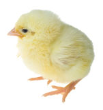 Single chick Stock Photography