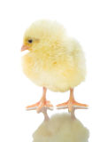 Single chick with reflection Stock Images