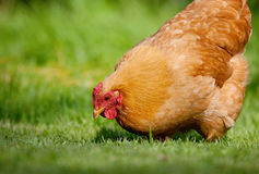 Free range chicken in green grass. Close up image of a single well fed hen pecking in lush green grass. Free range Stock Image