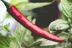 Single chili pepper red hot raw ripe spice vegetable growing plant stock images