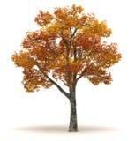 Single Chinar Tree stock photo
