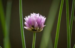 Single chive flower. A single chive Allium schoenoprasum flowerhead and chive stalks surrounding it Stock Photo