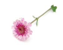 Single chrysanthemum flower Royalty Free Stock Photo