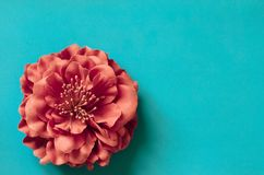 Single chrysanthemum flower on green blue background. Spring gretting card copy space Stock Images