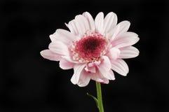 Chrysanthemum flower against black. Single chrysanthemum flower isolated against black royalty free stock photo