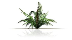 Single cinnamon fern plant. With reflektions - isolated on white background Stock Photography