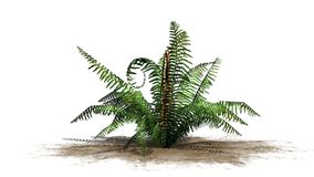 Single cinnamon fern plant on a sand area. With shadow - isolated on white background Stock Photo