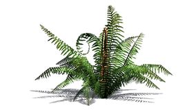 Single cinnamon fern plant. With shadow - isolated on white background Royalty Free Stock Photos