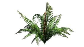Single cinnamon fern plant. Without shadow - isolated on white background Royalty Free Stock Photography