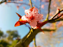 Single close-up of blossom tree bud opening Royalty Free Stock Images