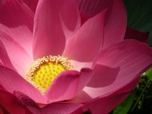 Single close-up image of a beautiful pink lotus flower, with yellow center, in a small pond in a Thai park. Single close-up image of a beautiful pink lotus stock photos