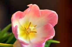 Single Close Up Tulip Stock Photography
