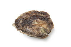 Single closed fresh European flat oyster Stock Photos