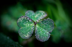 A single clover with dew drops Stock Photo