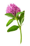 Single clover flower vertically royalty free stock images