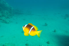 Single clown-fish is underwater Royalty Free Stock Photography