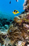 Single Clownfish next to it's host aneomone in the Red Sea. A single anemonefish and its anemone in shallow water on a coral reef royalty free stock photo