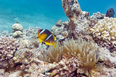 Single Clownfish and sea anemone in tropical sea, underwater Stock Photo